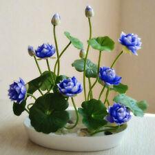 Light Blue White Water Lily Bowl Lotus Seeds (2pcs)