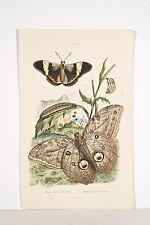 Gravure ancienne XIX° Papillons Morpho Euryloque/du Sophora Histoire Naturelle