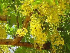 Golden Shower (Cassia fistula) Seeds Very  Showy Medium Tree Warm Climate
