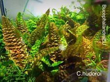 Crytocoryne Hudoroi - Live Aquarium Plant - Rare
