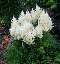 Semi Astilbe bianca fiore pianta perenne giardino fiori piante