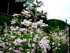 Penstemon pallidus (Pale Beardtogue) x 100 seeds.