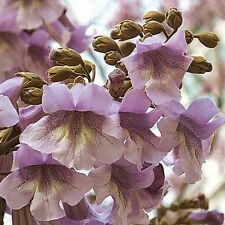 1 Pack 100 Paulownia Elongata Seeds New Forest Tree Seeds Plant S062