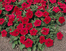 50 Pelleted Seeds Logro Red Petunia Seeds Large Flowers