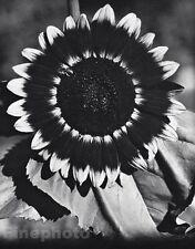 1924/63 Vintage 11x14 SUNFLOWER Bee France Botanical Photo Art ~ EDWARD STEICHEN