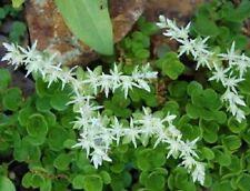 50 White 'Silver King' Sedum Glaucophyllum Flower Seeds + Gift & Comb S/H