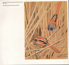 BEAUTIFUL VINTAGE BIRD PRINT ~ BEARDED TIT PARENTS AT NEST & YOUNG ~ TUNNICLIFFE