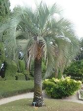 10x Palmen Samen Butia capitata (gewöhnliche Geleepalme) Winterhart -12°C