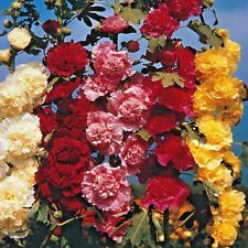 Flower - Hollyhock Chaters double mix 100 seeds Alcea rosea