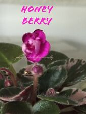 African Violet Plant * Honey Berry * Semi-Miniature in Bloom