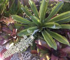 Giny's Garden Aechmea Mexicana Albomarginata Bromeliads Plants