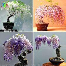 Wisteria Seeds Flowers Bonsai Tree Pots Plants Decoration Seeds Mix Color 10pcs
