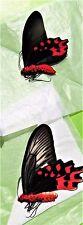 Rare Sempers Butterfly Atrophaneura semperi albofasciata Pair Folded FAST USA
