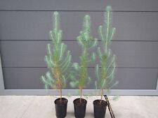 Pinus pinea - Schirm-Kiefer, Mittelmeer-Kiefer - Pflanze 30-50cm - Pinienkerne