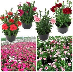 Balkonpflanzen NELKEN 11cm-Topf Bunte Farben Mehrjährig Gewachsene Pflanze
