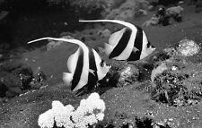 Framed Print - Black and White Angel Fish (Picture Tropical Reef Aquarium Art)