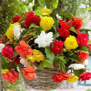Pendula, Trailing, Cascade Begonia - 3, 5,10,25 bulbs - Mixed Colours - FREE P&P