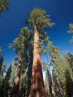 Sequoiadendron giganteum (Giant Sequoia Redwood Tree) 15 Rare viable tree seeds