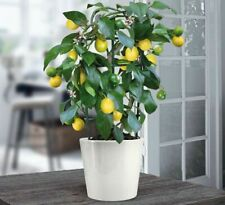 10 Lemon Tree Seeds Rare Relic Lime Potted Fruit Home and Garden Bonsai Plants