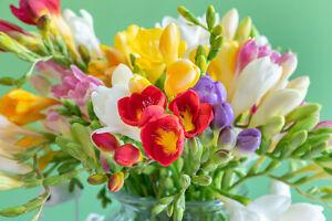 20 Freesia MIX Summer Flowering Bulbs Garden Corm Fragrant Wedding Cut Flowers