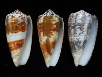 Sea Shells Conus magus 70mm ID#4711 set of 3 shells