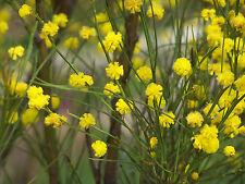 Acacia extensa  - Wiry Wattle SEED 1/4 tsp, at least 100 Australian Native Plant