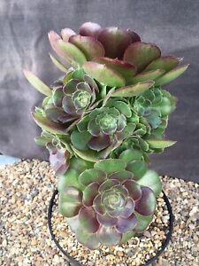 Aeonium arboreum v.'atropurpureum' 24 X 18cm. PLEASE READ IMPORTANT DESCRIPTION