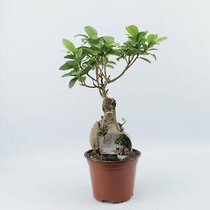 Ficus Ginseng 12cm