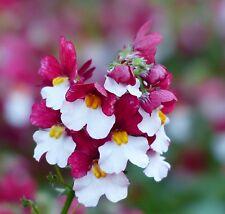 100 Samen Elfenspiegel rot-weißes Blühwunder - Nemesia strumosa suttonii