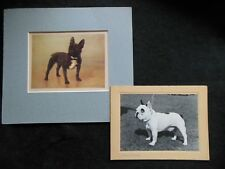 Vintage French Bulldog Prints - c1920s - Dogs, Mounted, Antique Art, Canine