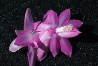 Christmas Cactus/Schlumbergera Plant~~You Choose What Variety You Want~~Group 12
