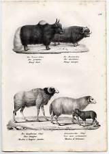 Yak-Moschusochse-Schaf-Schafe-Tiere Lithographie 1840