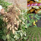 50Pcs Seeds Of Jumbo Virginia Peanuts Untreated Seeds Organic Seeds
