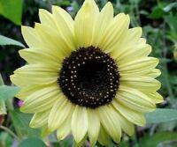"""""""USA"""" HEIRLOOM Lemon Queen Sunflower 50-400 seeds ORGANIC"""