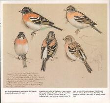 BEAUTIFUL VINTAGE BIRD PRINT ~ BRAMBLING ~ TUNNICLIFFE
