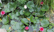 """Perry's Red Baby Hardy Water Lily 4""""tuber"""