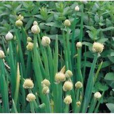Hierba Semillas-cebollas de Gales Blanco - 4000 Semillas