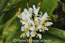 5x Hedychium spicatum Zier-Schmetterlingsingwer Samen B2111