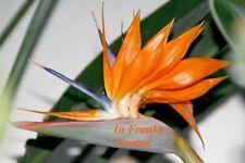 Strelitzia reginae @ Paradiesvogelblume @ frostverträglich@ Strelitzie @ 5 Samen