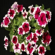 Petunia Seeds 50 Pelleted Seeds Petunia Hulahoop Burgundy