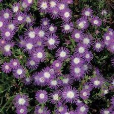 Ice Plant- Stardust- 25 Seeds- BOGO 50% off SALE