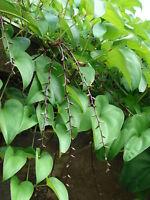 Dioscorea alata PURPLE YAM Seeds