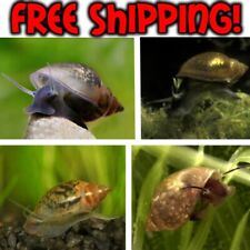New listing 15+5 Live Pond/Bladder/Tadpole Cleaner/Feeder Snails Puffer Food Free Shipping!