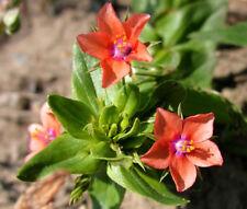 PIMPERNEL SCARLET Anagallis Monelli - 1,000 Bulk Seeds