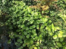 POND PLANT PENNYWORT POND PLANTS BOG PLANTS WINTER HARDY