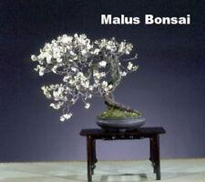 Siberian Flowering Crab - 10 Seeds- Malus baccata - Bonsai