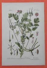 Moschus-Reiherschnabel Erodium moschatum  Lithographie 1885