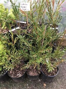 Callistemon Royal Sceptre (Bottle Brush Plant) sold in 2 L pot