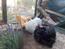 10 Eier, Bruteier meiner Zwerghühner Zwergbrahma Zwergcochin etc. bunte Truppe