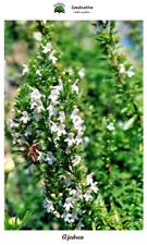 Satureja montana - Ajedrea - 500 semillas - Seeds